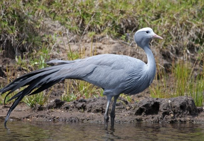 Blue Crane bird